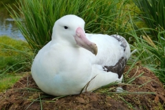 Albatross on nest. Photo by Phil Tempest 2015