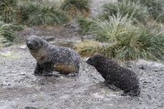 Baby Fur Seals in snow storm by Denise Landau