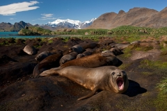 Elephant Seals Photo by Ingo Arndt 2011
