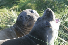 Elephant Seals by Kelly Hague