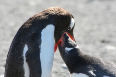 Gentoo Penguin feeding chick by Barbara Young
