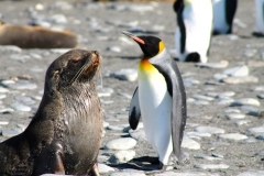 King Penguin and Fur Seal pup by Natalie Boulle