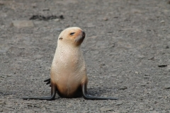 Blond Fur Seal by Denise Landau
