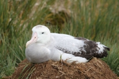 Albatross Nest by Denise Landau