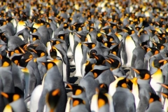 King Penguin colony at Gold Harbour by Nathalie Boulle