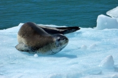 Leopard Seal on ice by Phil Tempest