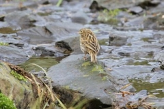 South Georgia Pipit 2015 at Bird Island by Nathalie Boulle