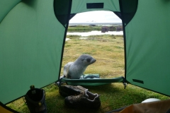 Fur seal outside tent by Rob Webster