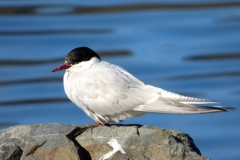 Antarctic Tern by Phil Tempest