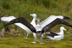 Wandering Albatrosses displaying at Bird Island by Denise Landau