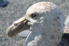 Giant Petrel profile by Nathalie Boule