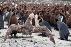 Giant Petrel and King Penguins by Oli Prince