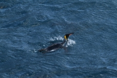 King Penguin in water by Roland Gockel