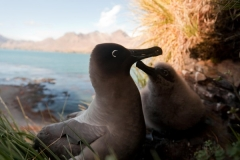 Light Mantled Albatrosses on nest by Oli Prince
