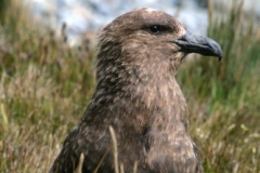 Skua at Sorling, South Georgia by Kelly Hague