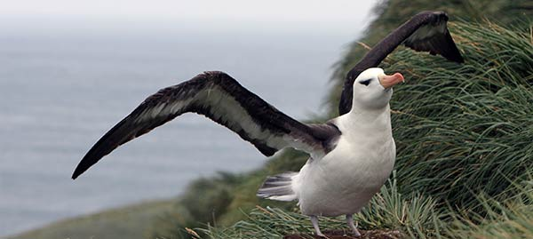 Black-browed Albatross. Photo Ewan Edwards.
