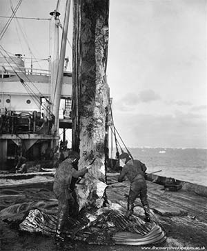 Ventral blubber strip, 'CA Larsen' 1928-29. Photo courtesy http://www.discoveryinvestigations.ac.uk