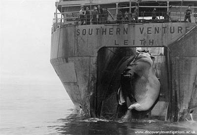 Whale on slip of Factory Ship. Photo courtesy of http://www.discoveryinvestigations.ac.uk