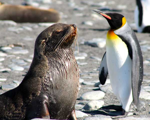 Fur Seal and King Penguin. Photo by Nathalie Boulle.