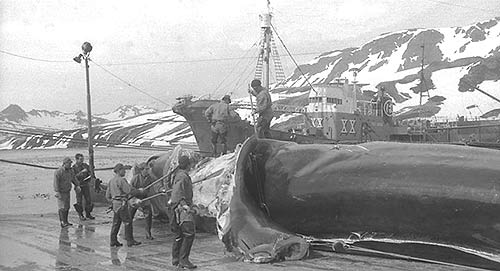 Blue whale being flensed, throat and belly blubber being stripped 1928-29 Photo courtesy http://www.discoveryinvestigations.ac.uk