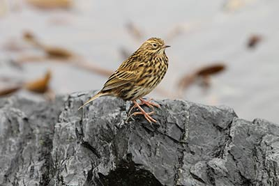 South Georgia Pipit. Photo Ewan Edwards