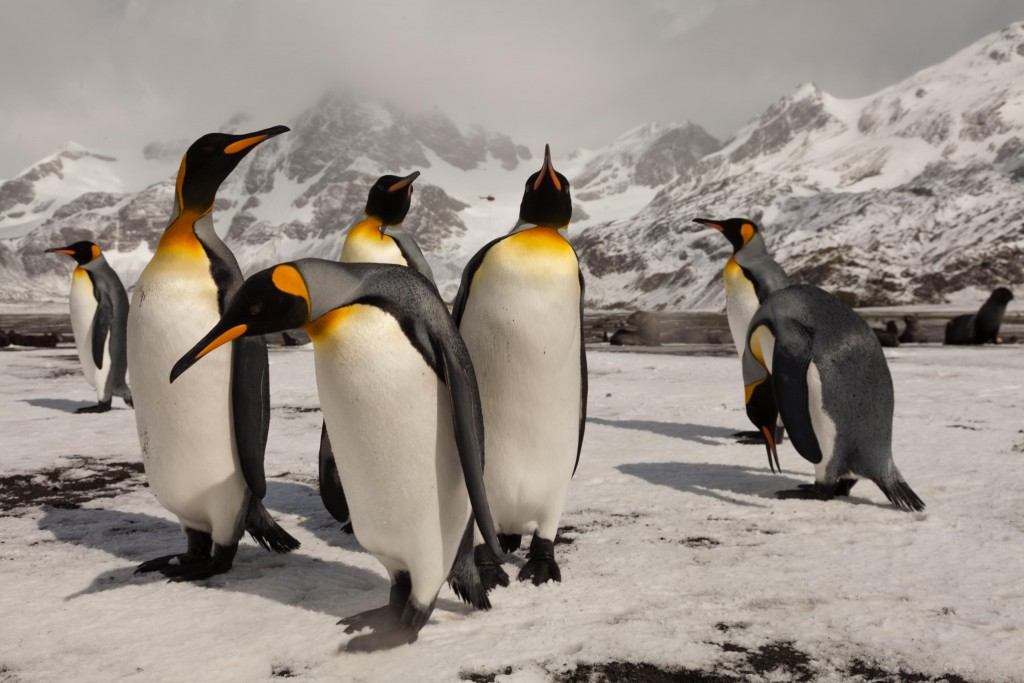 kingpenguins_ph2_oliprince