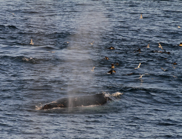Whales and other wildlife off the South Georgia coast. Photo by Tony Martin (January 31st 2015)